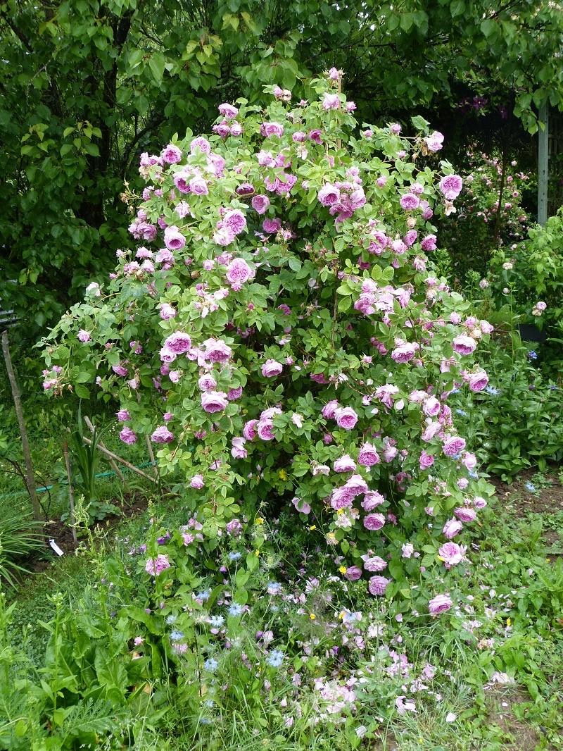 Rose des peintres - Rosa x centifolia major (Origine inconnue - 1587) - Page 4 1527573658974157873